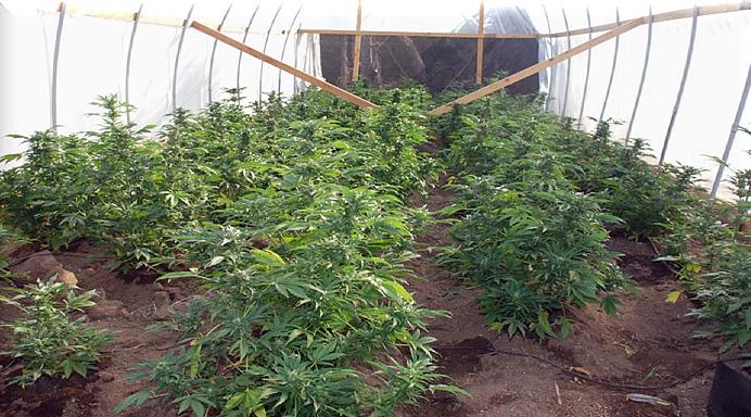 MarijuanaGreenhouse