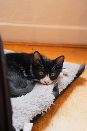Adopter un chaton à Paris