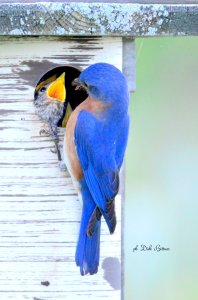 bluebird-monitoring