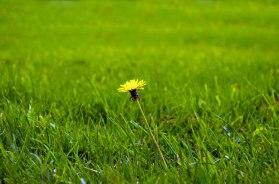 single-yellow-dandelion-in-green-grass