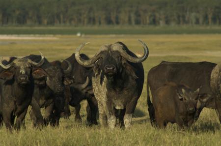 "Lake Nakuru cape buffalo; typical ""I dare you"""