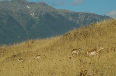 National Bison Reserve pronghorns; this one has possibilities