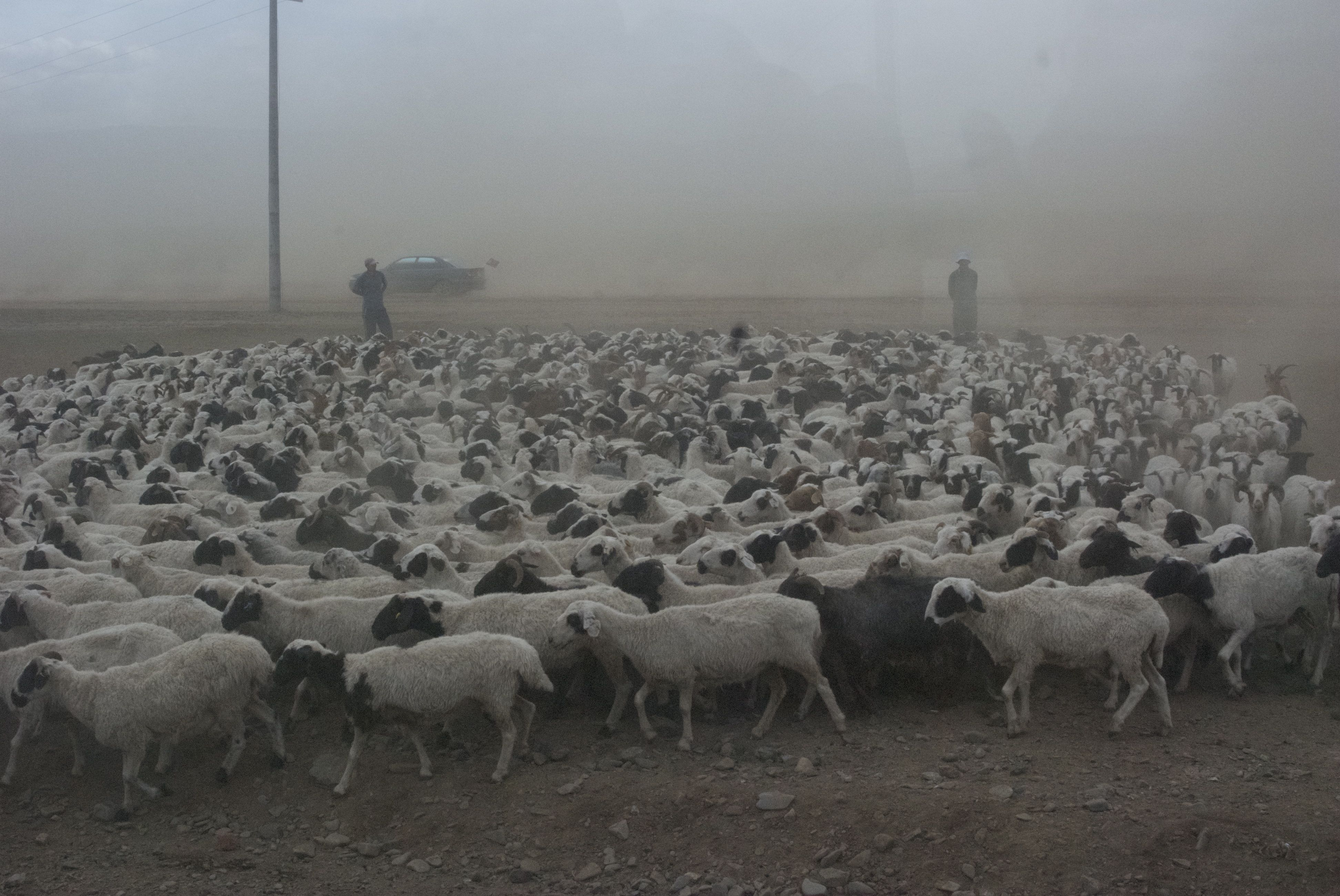 Sheep and dust