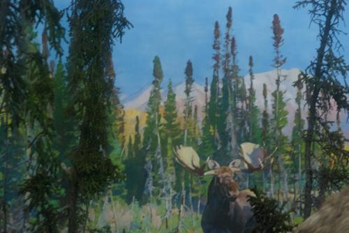 Moose, background detail