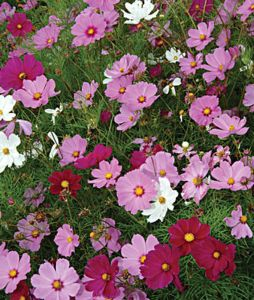 Cosmos Mixed colors