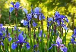 2384007-iris-flowers-in-summer-sunny-city-park