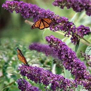 butterfly-bush-black-knight