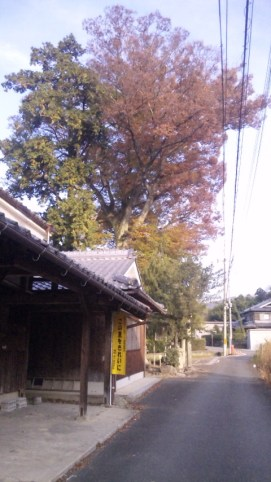 梅田神社のケヤキ