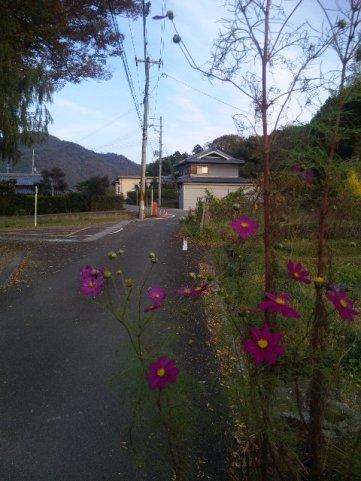 秋桜と印地の入り口