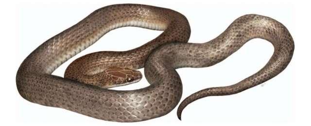 Reconstruction artistique de la nouvelle espèce Cenaspis aenigma, le « mystérieux serpent repas ». © Campbell et al., Journal of Herpetology