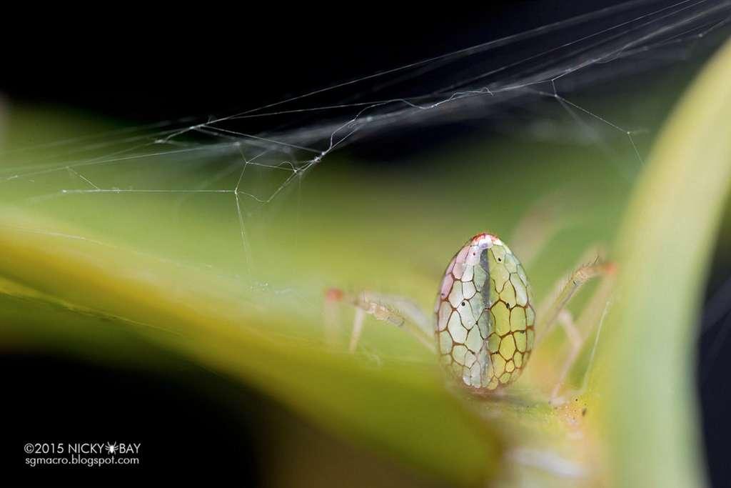 L'araignée-miroir, toujours au repos, vue à présent de dos. © Nicky Bay, tous droits réservés