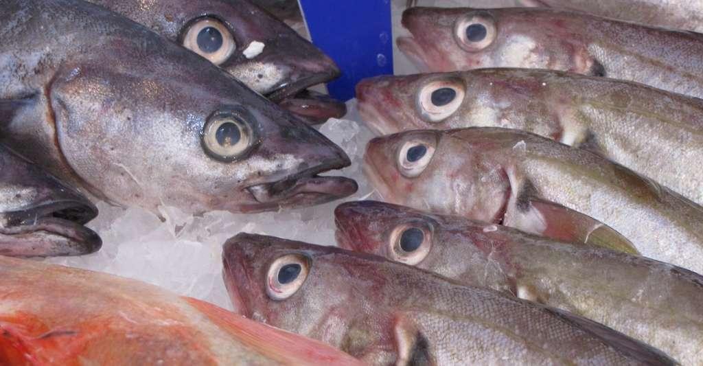 Le poisson ne sent pas bon. Tout le monde le sait. Le hareng fermenté — surstömming comme l'appellent les Suédois — dégage quant à lui, une odeur infecte. © PublicDomainPictures, Pixabay, CC0 Public Domain
