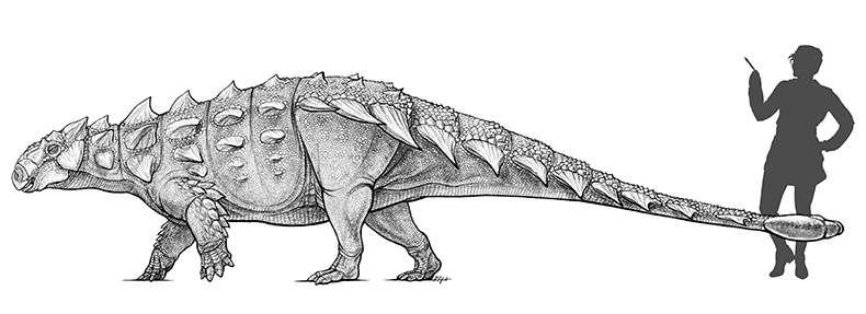 Ce dessin d'artiste donne une idée de la taille de Zuul crurivastator. © Danielle Dufault, Royal Ontario Museum