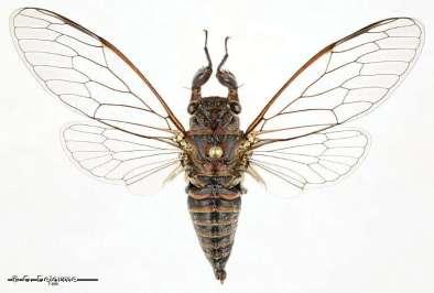Rouxalna scabens, une nouvelle espèce de cigale endémique de Nouvelle-Calédonie découverte en 2018. © Quentin Delorme