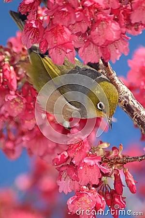Oiseau Dans Le Cerisier