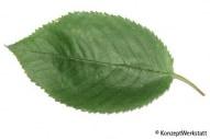 Image result for serrated leaf