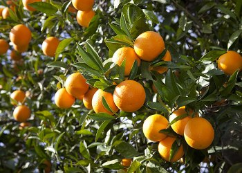 La Tunisie croulera… sous les oranges, production record en vue