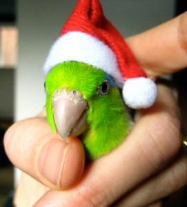 parrotlet santa