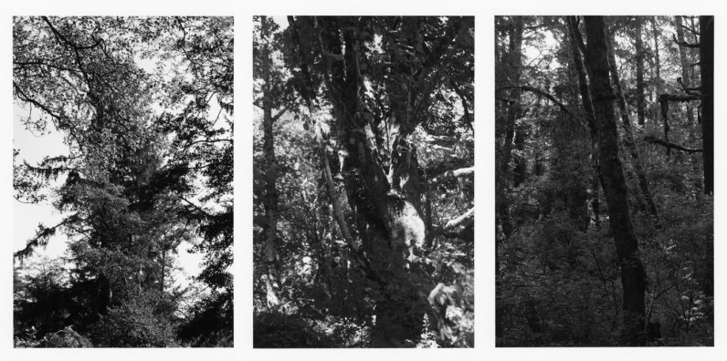 Three black-and-white vertical photographs showing details of tree branches and tree trunks in a dense forest