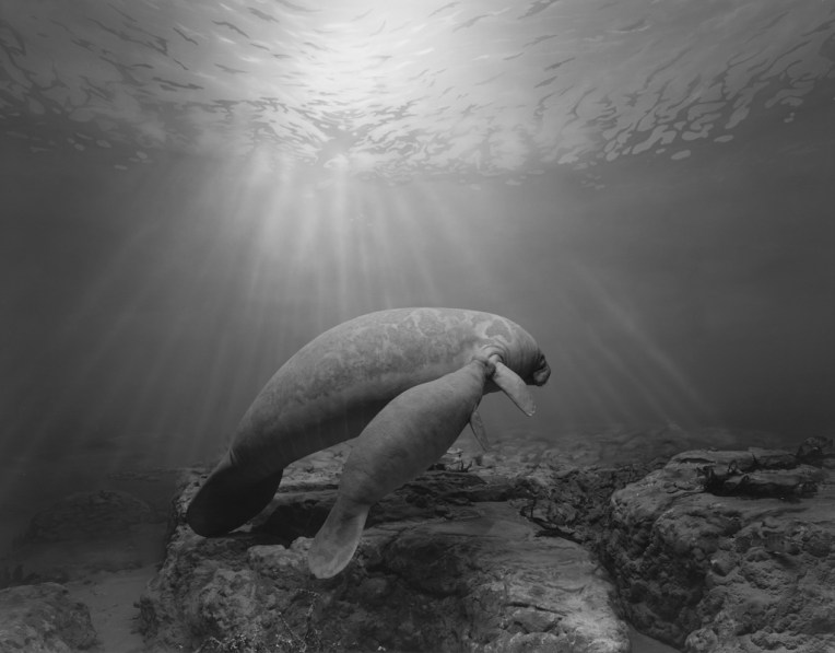 Black-and-white photograph of a museum diorama of a manatee and its calf swimming underwater