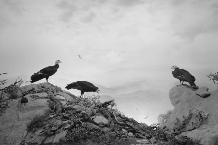 California Condor, 1994, gelatin-silver print