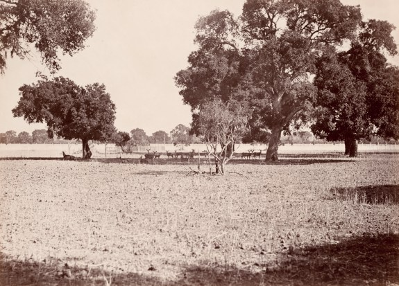 Albumen photograph of a herd of deer resting under three trees in a field