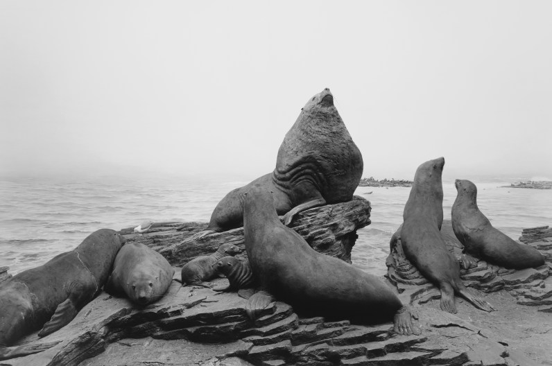 Black-and-white photograph of a museum diorama of sea lions resting on a rocky coast
