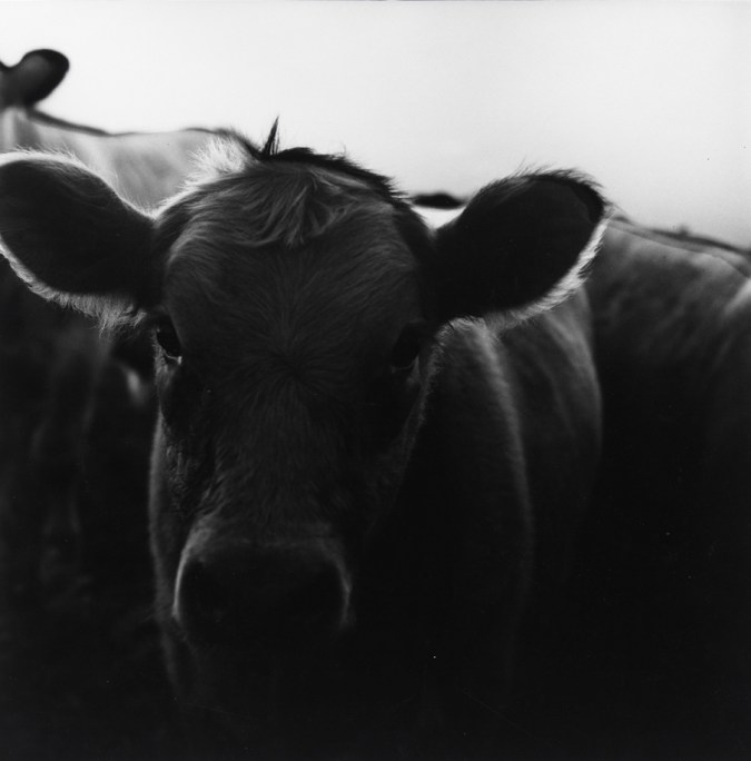 Black-and-white photograph of the face of a cow.