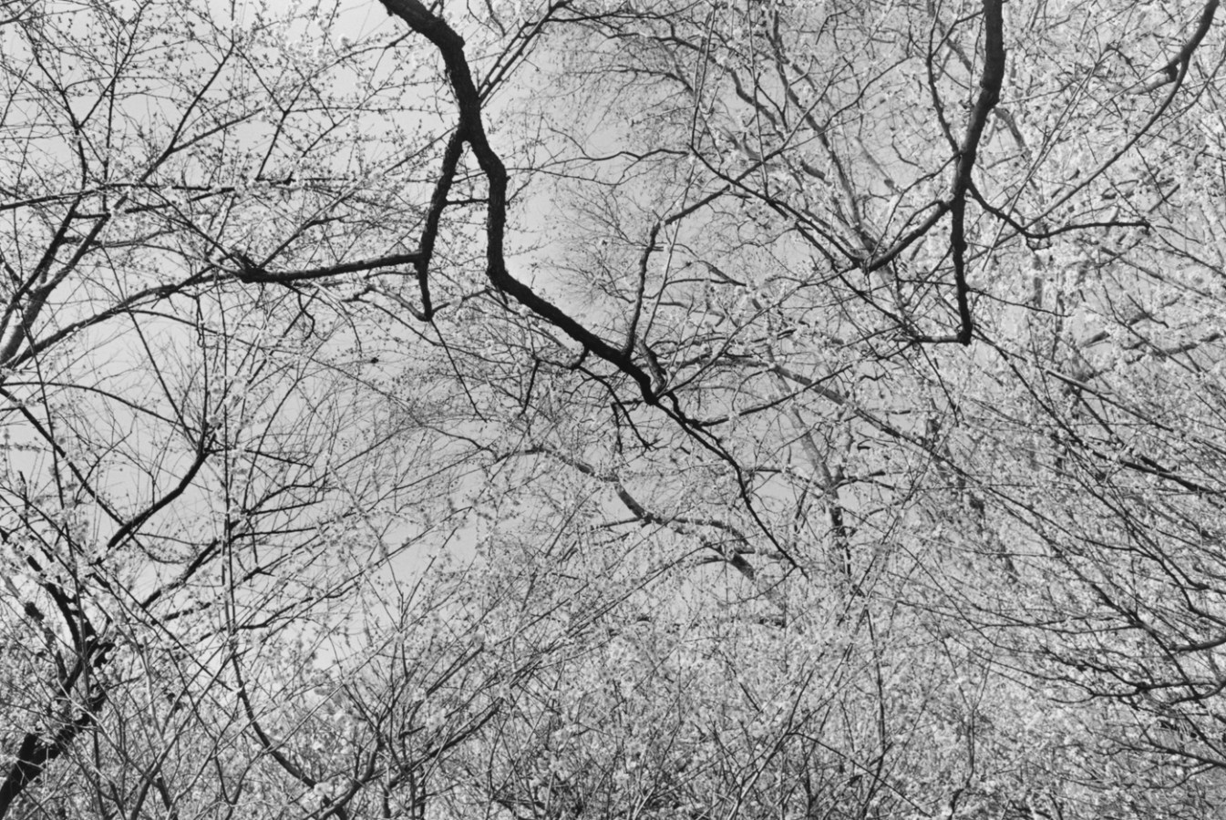 Black-and-white photograph looking upwards at bare tree branches