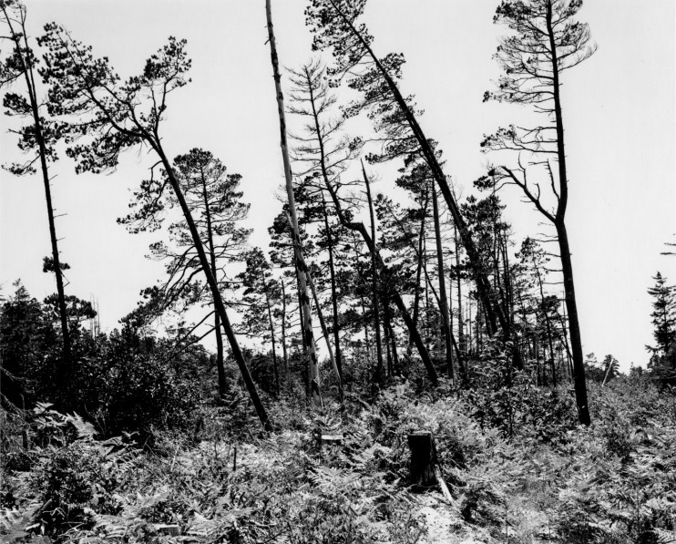 A black and white photograph of leaning trees with no leaves, and tree stumps against a clear sky.