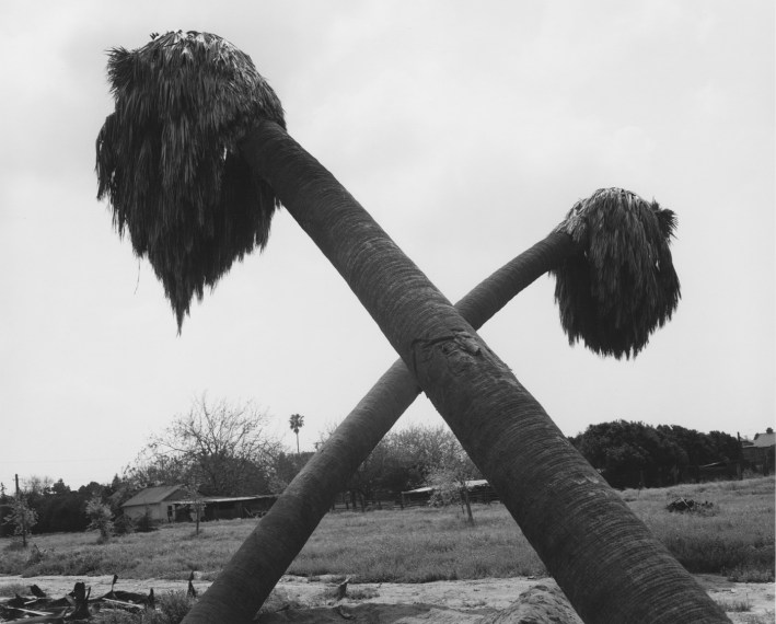 Dead palms, partially uprooted, Ontario, California, 1983, gelatin-silver print