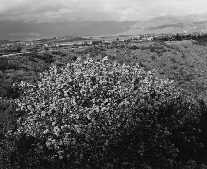 Black-and-white photograph with a flower bush in the foreground, houses and mountains in the distance, against a cloudy sky