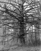 A black and white photograph of a leafless tree, the trunk in the center, and the branches coming out on all sides
