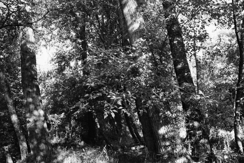 Black-and-white photograph of tree trunks