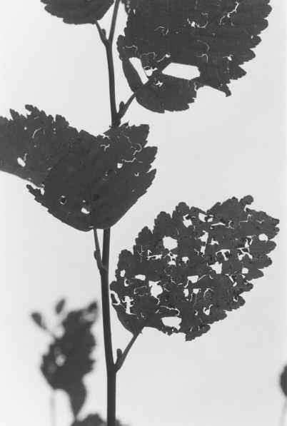Black-and-white vertical photograph of tree branches and leaves against a brightly lit sky