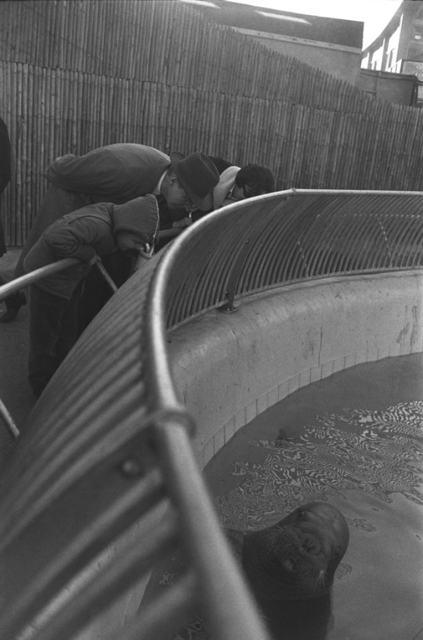 Black-and-white photograph of three aquarium visitors peering over a fence at a walrus surfacing from the water