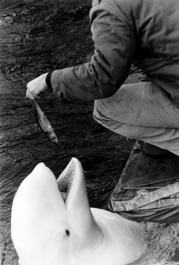 Black-and-white photograph of a keeper crouching to feed fish to a beluga whale
