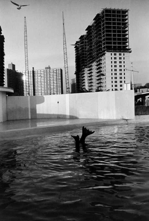 Black-and-white photograph of a sea lion's hind flippers raised above the water in a cement enclosure