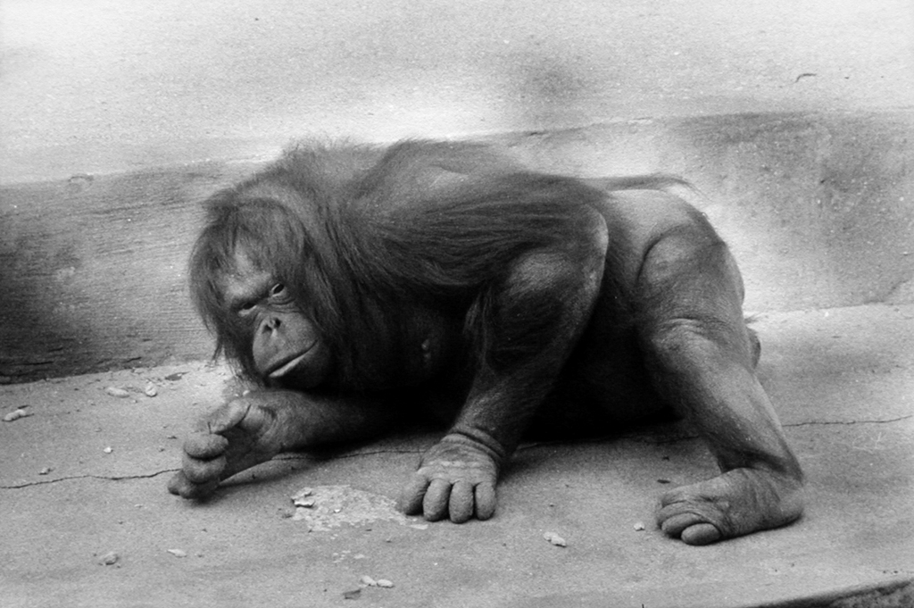 Black-and-white photograph of an orangutan hunched over on the ground looking up at the viewer