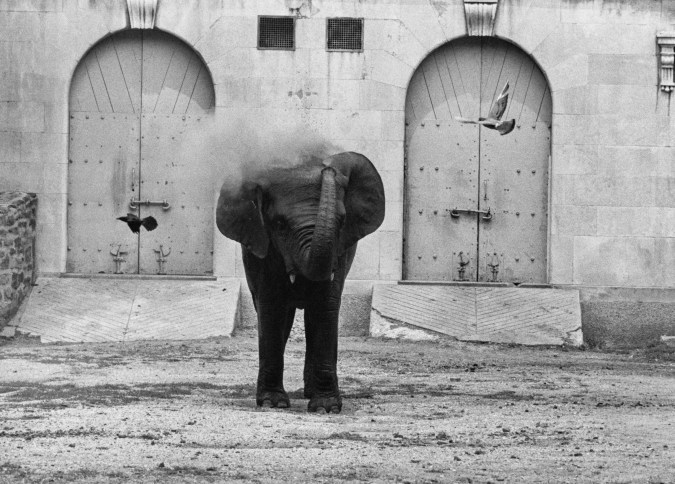 Black-and-white photograph of an elephant spraying dust over its body with its trunk