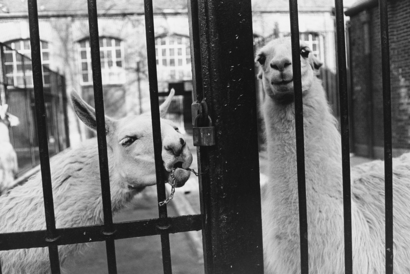 Black-and-white photograph of two llamas behind a locked iron gate