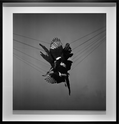 A murder of magpies, 2013, gelatin-silver contact print