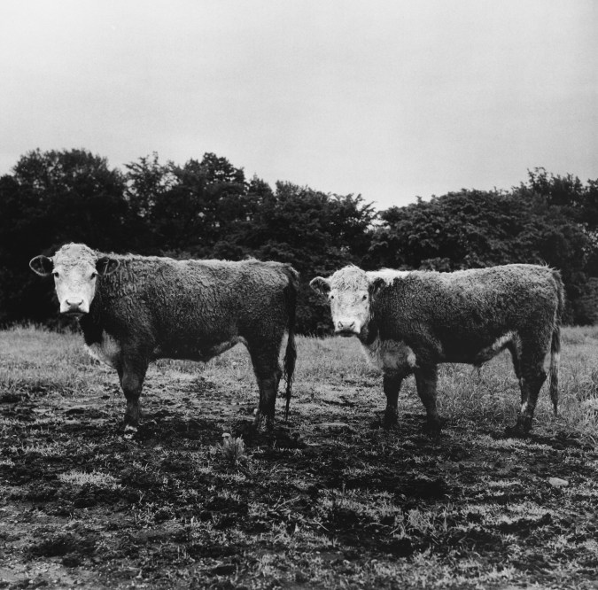 Black-and-white photograph of two cows with white faces standing sideways with their heads turned to the viewer