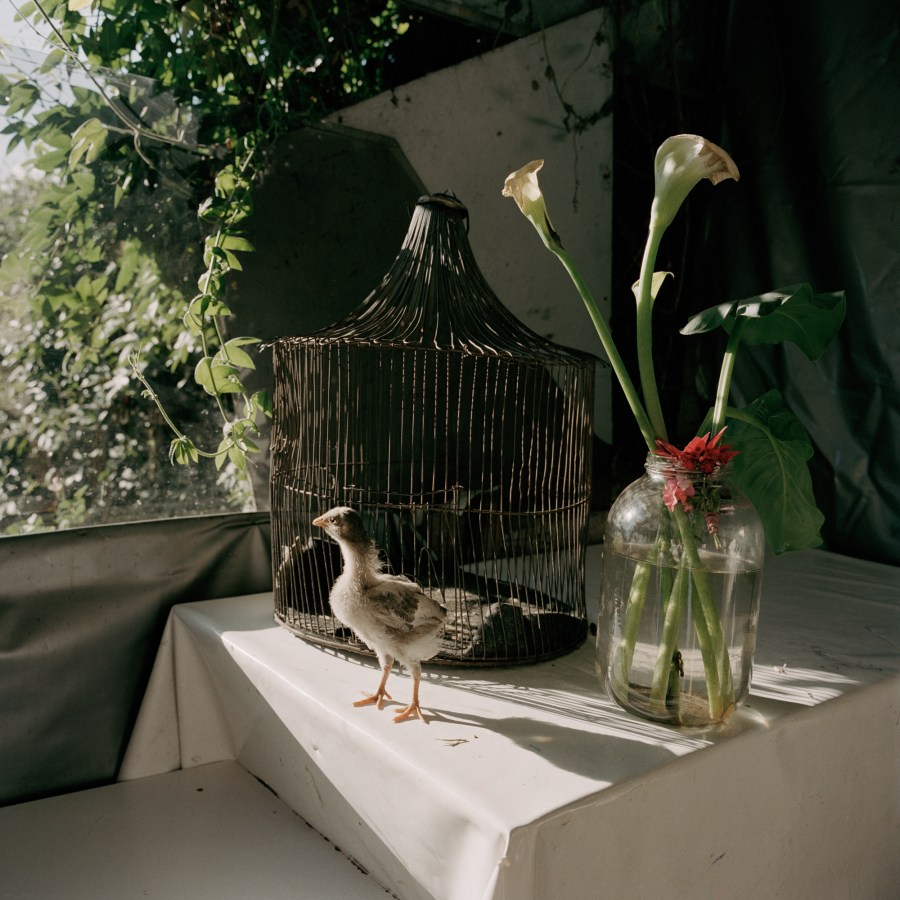 Color photograph of a young bird standing on a table by a window in front of a birdcage and vase of flowers
