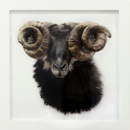 A framed photograph of a ram, with very twisted horns