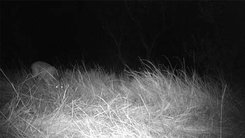 Black-and-white nighttime photograph of an animal in the grass