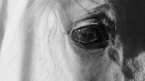 Black-and-white photograph of a horse's eye