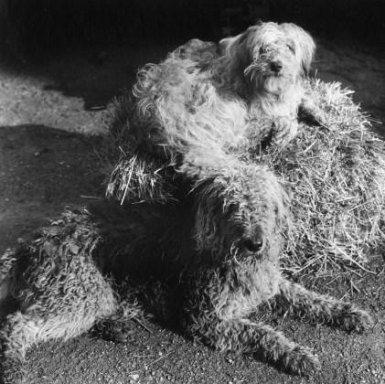 PETER HUJAR, Two Dogs, Westtown , 1978, gelatin-silver print