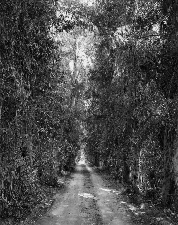Black and white photograph of a road through tall eucalyptus trees.