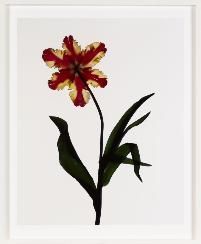 Image of a red and yellow flower with green leaves and stem on a white background